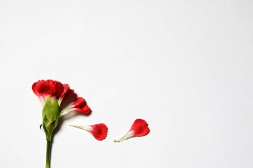 Stock Photo: 1566-464910 Red carnation flower (Dianthus genus) with flaking petals Close up