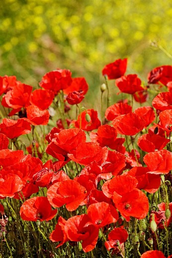 Poppy field, Andalucia, Spain : Stock Photo