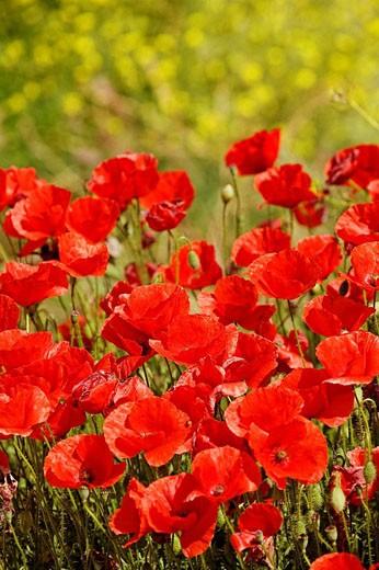 Stock Photo: 1566-465312 Poppy field, Andalucia, Spain
