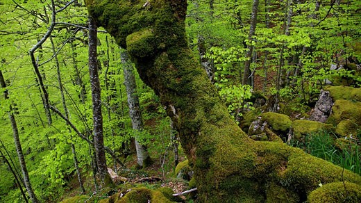 Stock Photo: 1566-465790 Selva de Irati en primavera. Navarra. España. Europa.