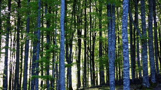 Stock Photo: 1566-465791 Selva de Irati en primavera. Navarra. España. Europa.