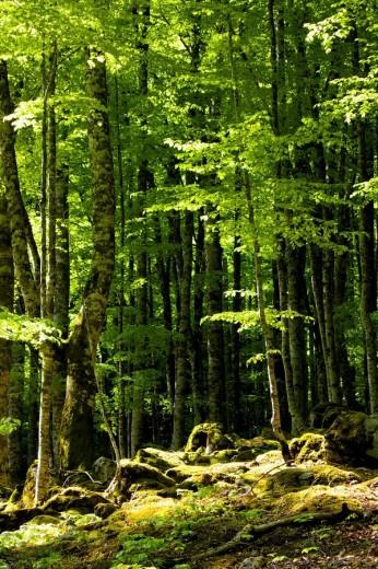 Stock Photo: 1566-465796 Selva de Irati en primavera. Navarra. España. Europa.
