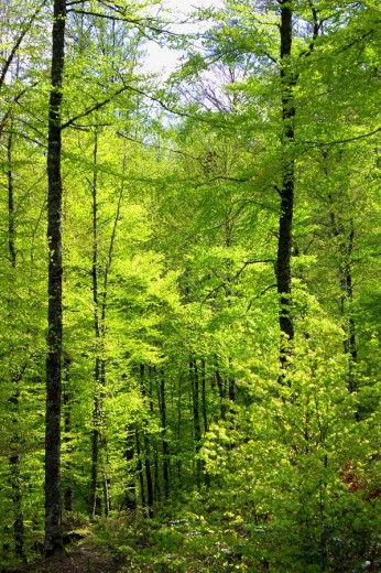 Stock Photo: 1566-465806 Selva de Irati en primavera. Navarra. España. Europa.
