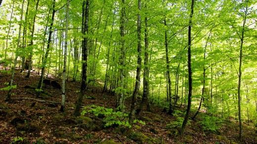 Selva de Irati en primavera. Navarra. España. Europa. : Stock Photo
