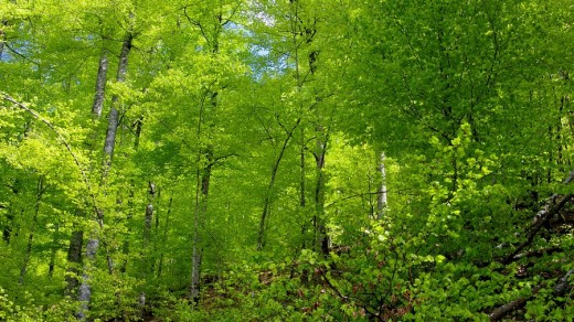 Stock Photo: 1566-465812 Selva de Irati en primavera. Navarra. España. Europa.