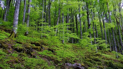 Stock Photo: 1566-465818 Selva de Irati en primavera. Navarra. España. Europa.