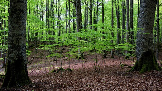 Stock Photo: 1566-465821 Selva de Irati en primavera. Navarra. España. Europa.