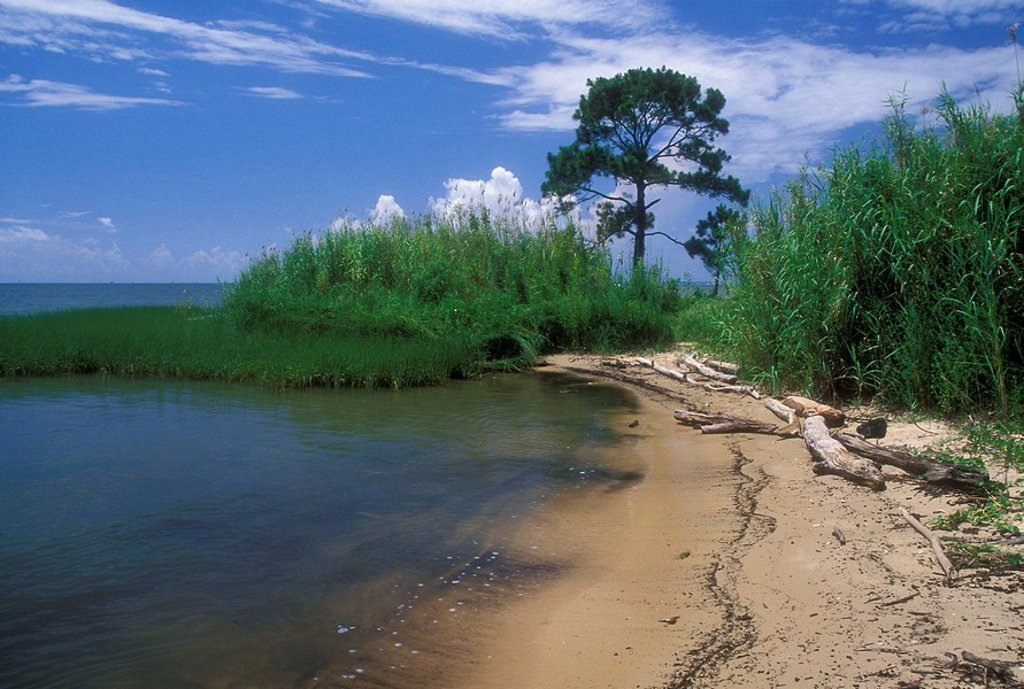 Pine on shoreline, Bayfront Park, Mobile County, Alabama, USA : Stock Photo