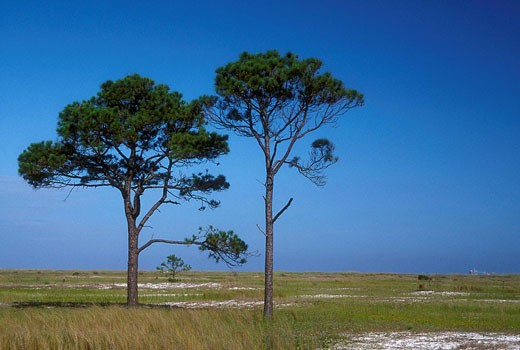 Pines, Bon Secour National Wildlife Refuge, Alabama, USA : Stock Photo