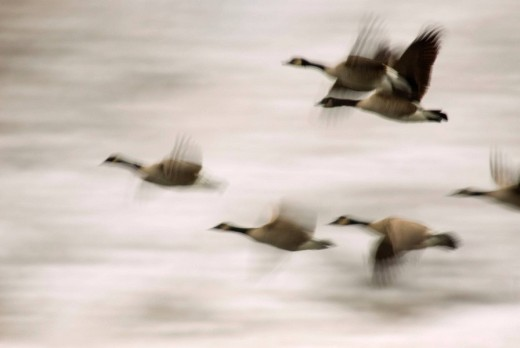 Canada geese (Branta canadensis) in flight, Trout Lake Natural Area Preserve, Washington, USA : Stock Photo