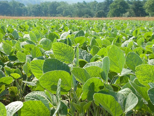Soy bean field brookville. Pennsylvania. USA. : Stock Photo