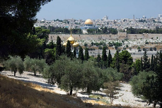 Olive grove mount of olives old city jerusalem. Israel. : Stock Photo