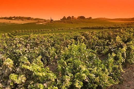 Vineyards deir rafat monastery soraq valley. Israel. : Stock Photo
