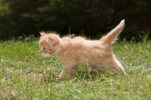 Single 6 week old long haired ginger kitten on grass in garden : Stock Photo