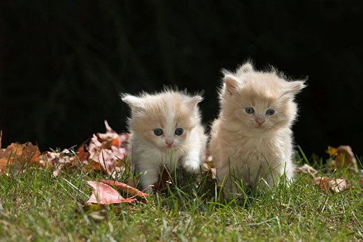 Stock Photo: 1566-468878 Two 6 week old long haired white ginger kittens on grass in garden in autumn