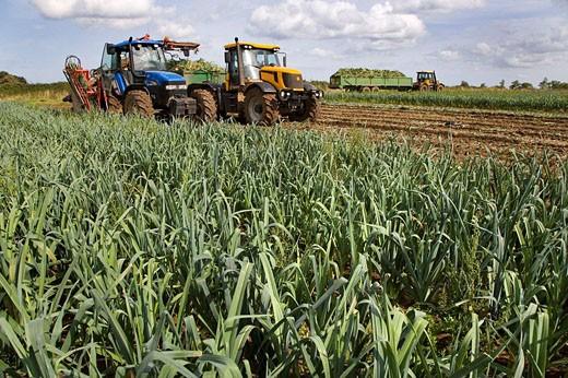 Harvesting Leeks Norfolk UK September : Stock Photo
