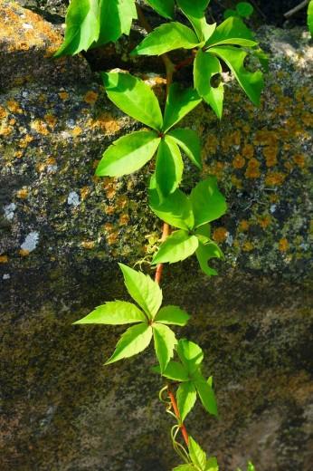 Viña virgen (Parthenocissus quinquefolia). Hojas : Stock Photo