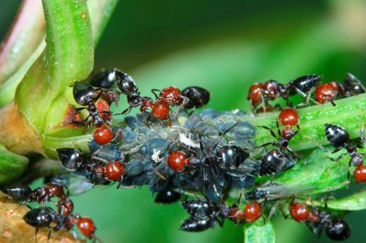 Hormigas (Crematogaster scutellaris) cuidando una colonia de pulgones (Familia Aphididae) : Stock Photo