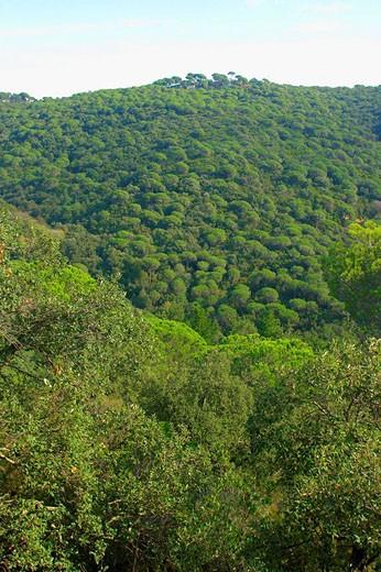 Stock Photo: 1566-469224 Bosque mediterráneo con pinos piñoneros (Pinus pinea). Sierra del Montnegre. Barcelona