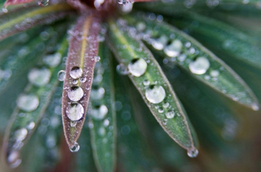 Canada, BC, Ladner  Waterdrops on euphorbia plant in residential garden : Stock Photo
