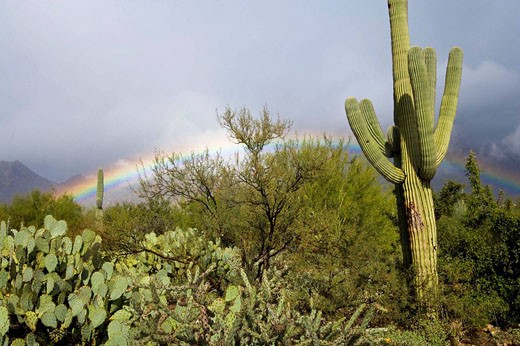 Rainbow & cacti, Saguaro National Park, Tucson, Arizona, USA : Stock Photo