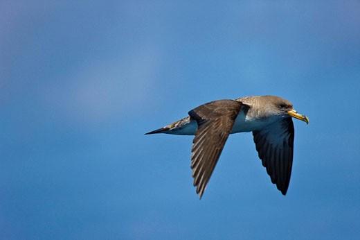 Cory´s Chearwater (Calonectris diomedea). Pico Island, Azores, Portugal : Stock Photo