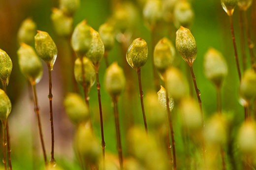 Haircap moss Polytrichium commune Sporangia : Stock Photo