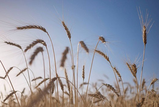 cereal field in Puertomingalvo, Sierra de Gúdar, Teruel Aragón, Spain, Europe : Stock Photo