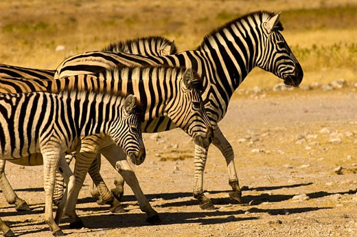 Stock Photo: 1566-473082 A herd of zerbra, Etosha National Park, Namibia