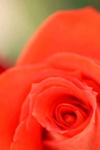 Light Red Rose Flower Close-up. Rosa hybrid. February 2008, Maryland, USA : Stock Photo