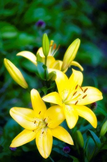 Stock Photo: 1566-473552 Yellow Asiatic Lilies Lilium hybrid July 2008 Maryland, USA