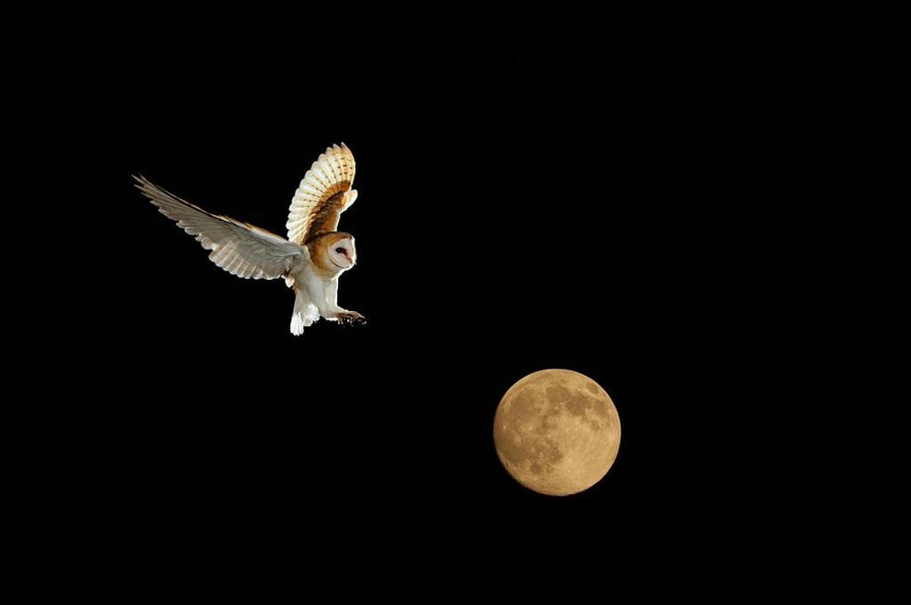 Barn Owl and full Moon Norfolk December : Stock Photo