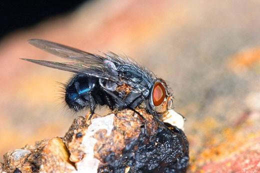 Moscarda azul de la carne (Calliphora erythrocephala) : Stock Photo
