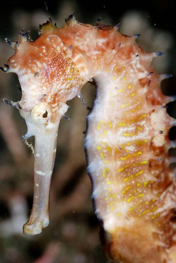 Stock Photo: 1566-480881 Thorny seahorse (Hippocampus histrix).  Lembeh Strait, Celebes Sea, North Sulawesi, Indonesia.