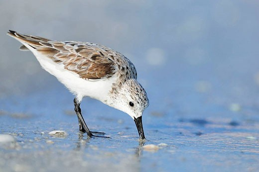 Sanderling (Calidris alba), in winter plumage, feeding. Sanibel Island, Florida, USA. : Stock Photo