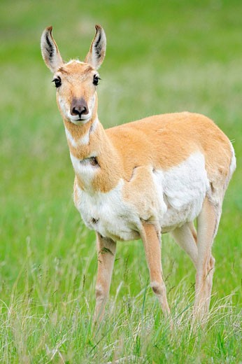 Stock Photo: 1566-481519 Pronghorn (Antilocapra americana), Female. Custer State Park, South Dakota, USA.