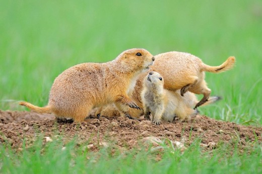 Stock Photo: 1566-481534 Black-tailed Prairie Dog (Cynomys ludovicianus), Family at the den. Windcave N.P., South Dakota, USA.