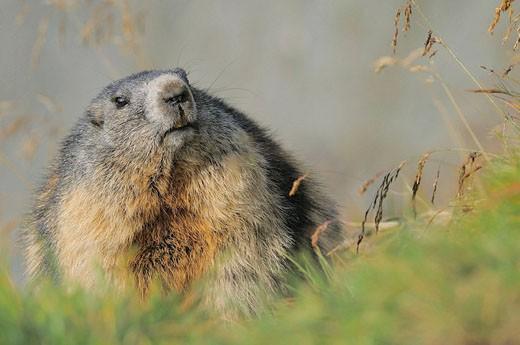 Alpine Marmot (Marmota marmota). Großglockner, Austrian Alps. : Stock Photo