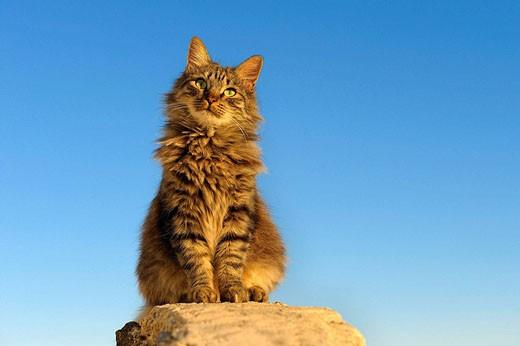 Cat, Santorin, Santorini, Oia, Greece, Cyclades, Cyclades islands : Stock Photo