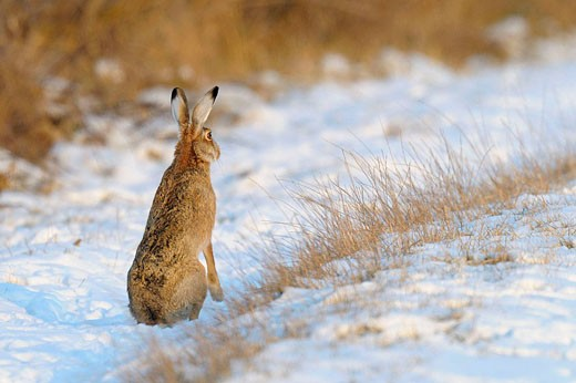 European brown hare in snow, Lepus europaeus, Winter, Germany : Stock Photo