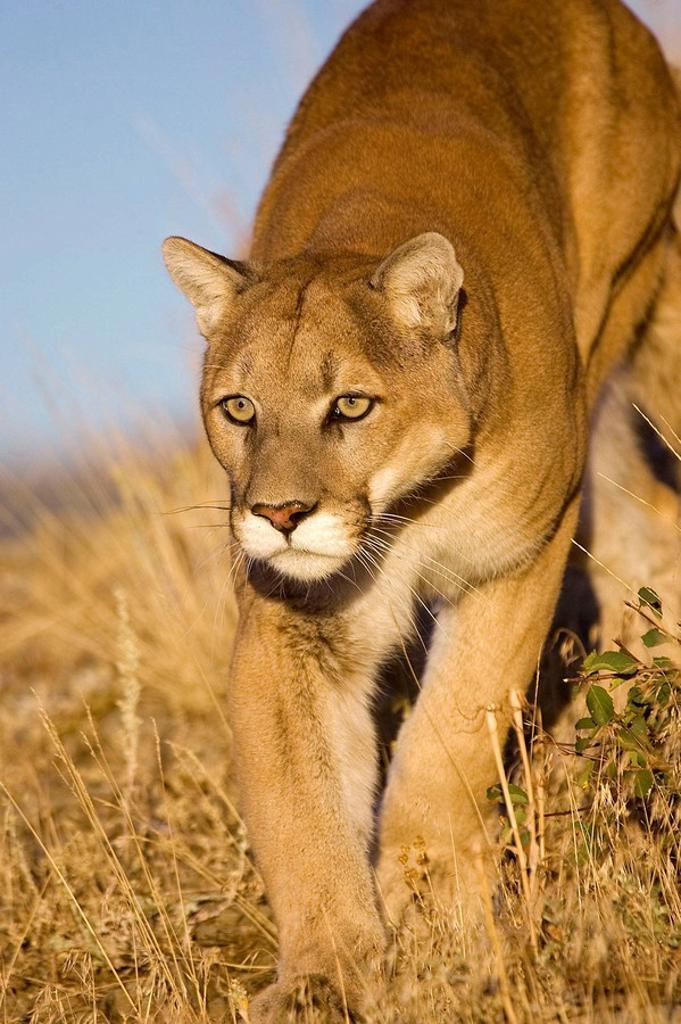 Mountain Lion walks along hillside edge : Stock Photo
