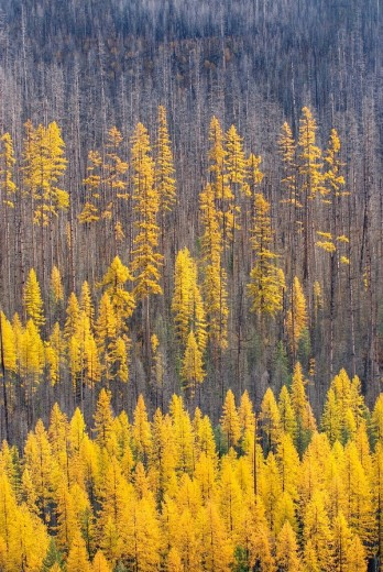 Western Larch Larix occidentalis displaying their golden needles in autumn among a partially burned forest, Flathead National Forest Montana USA : Stock Photo