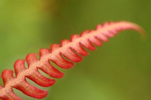Red fern leaf : Stock Photo
