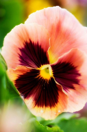 Peach Colored Round Pansy Flower Close-up. Viola x wittrockiana. : Stock Photo