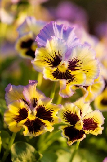 Pansy Flower Trio. Viola x wittrockiana. : Stock Photo