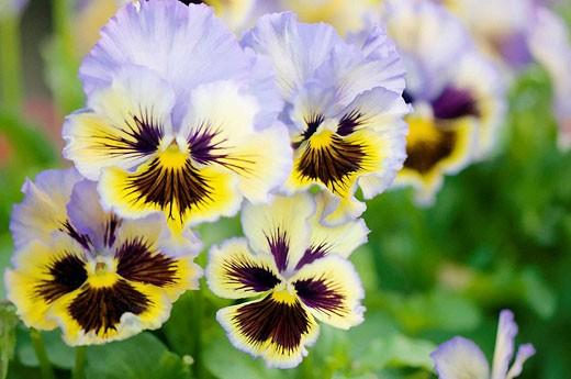 Pansy Flower Quartet. Viola x wittrockiana. : Stock Photo