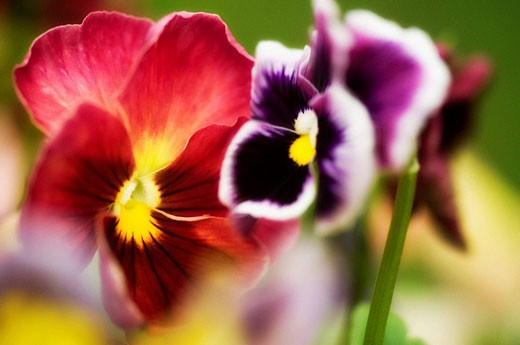 Stock Photo: 1566-483823 Red and Purple Pansy Flowers. Viola x wittrockiana.