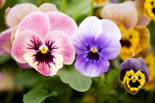Stock Photo: 1566-483829 Variety of Pansy Flowers. Viola x wittrockiana.