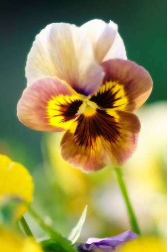 Stock Photo: 1566-483839 Brown Pansy Flower. Viola x wittrockiana.