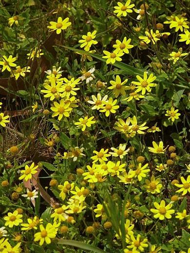 Common name: Sonki, Graham´s groundsel, Botanical name: Senecio bombayensis, Family: Asteraceae Sunflower family, Marathi: Sonki, Senecio bombayensis, Most abundant Monsoon flower in North Western Ghat : Stock Photo